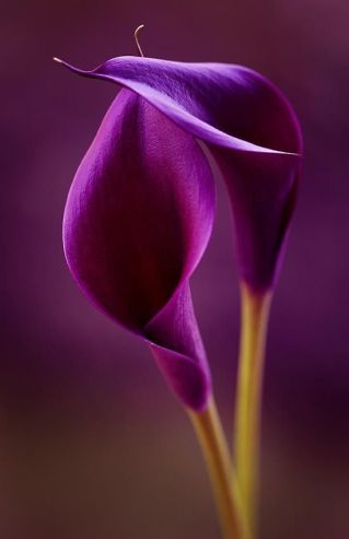 calla-lilly
